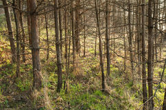 Spring morning in the pine undergrowth. Early spring in the forest Stock Photos