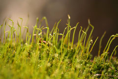 Spring moss. Close-up of sphagnum moss Royalty Free Stock Photography