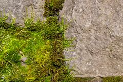 Spring Moss on a Rock Royalty Free Stock Photo