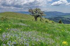 Flowers in meadow. Spring mountain landscape - Baiului Mountains, landmark attraction in Romania Stock Photo