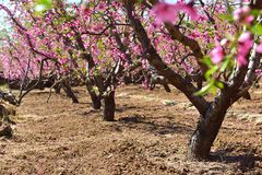 Many blooming peach blossoms stock photos