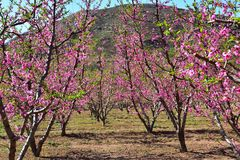 Many blooming peach blossoms stock photography