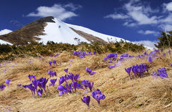 Spring in mountains. Springtime is the moment for this purple flower Royalty Free Stock Photo