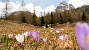 Spring in the mountains. Beautiful mountain landscape. Crocuses bloom. Selective focus. stock photography