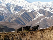 Spring in the mountains. A flock of goats comes first spring pasture . Spurs of the Gissar range of Tajikistan Royalty Free Stock Image