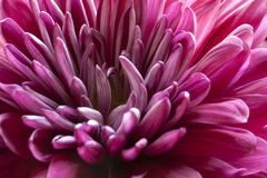 Spring mum Royalty Free Stock Images