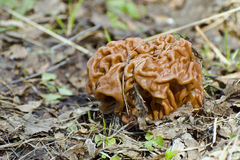 Spring mushroom snow morel Stock Photo