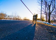 In the spring my dog likes to walk in the row. Photo taken of my dog Tobby walking on the country road. Drummondville, Quebec, Canada; March 26, 2018 Royalty Free Stock Photos
