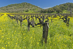 Spring in Napa Valley. Napa vineyard , California in spring Stock Photos