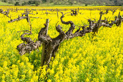 Spring. In Napa valley with mustard flowers Stock Photography