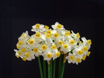 Spring Narcissi Royalty Free Stock Image