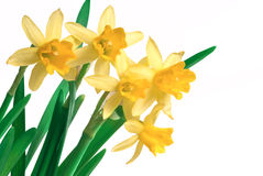 Spring narcissus Royalty Free Stock Photography