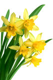 Spring narcissus. Yellow spring narcissus on white background royalty free stock photography