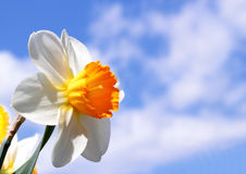 Spring narcissus flower Stock Photography