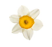 Spring narcissus flower Royalty Free Stock Photography