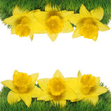 Spring Narcissus Flowers Border. Stock Photo