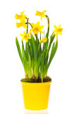 Spring narcissus flowers in pot on white Stock Photography