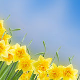 Spring narcissus garden. Spring narcissus in garden on blue bokeh background Royalty Free Stock Photography