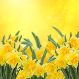 Spring narcissus garden Stock Images