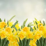 Spring narcissus garden. Spring narcissus in garden on gray bokeh background Stock Image
