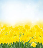 Spring narcissus garden. Spring yellow  narcissus in garden on blue bokeh background Royalty Free Stock Photos