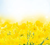Spring narcissus garden. Spring yellow  narcissus in garden on blue bokeh background Stock Image