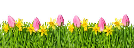 Spring narcissus tulip flowers green grass water drops Stock Image