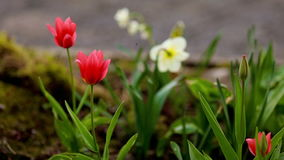 Spring narcissus and tulips stock footage