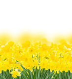 Spring narcissus on white Royalty Free Stock Image