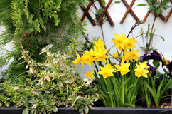 Spring narcissuses Royalty Free Stock Image