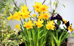 Spring narcissuses Stock Image