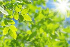 Vivid background with foliage. Spring natural background with bright fresh willow leaves stock image
