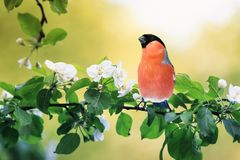 Spring natural background with little cute red bird bullfinch sitting in may garden on a branch of flowering Apple tree with white stock photo
