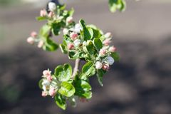 Spring natural flowering of trees in warm sunny weather. Fresh spring flowers on trees apricot cherries apple trees stock photo
