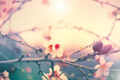 Spring nature background with blooming almond tree. Easter holiday scene Stock Photos
