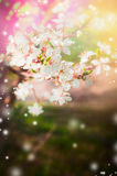 Spring nature background with blossom tree branches and white flowers. In garden or park Stock Photo