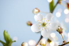 Spring nature background with blossoming apricot flowers and copy space Stock Images