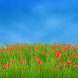 Corn poppy flowers against blue sky. Spring nature background with 3d field of corn poppy flowers Royalty Free Stock Photo