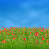 Corn poppy flowers against blue sky. Spring nature background with 3d field of corn poppy flowers Stock Photos