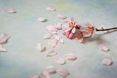 Spring nature background with lovely blossom in blue pastel color, top view, banner. Springtime concept. Spring fruit tree flowers And petals on white light Stock Images