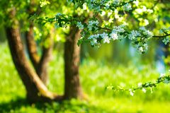 Spring nature background. White flowers on Green blossom tree background stock image