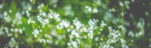 Spring nature banner of blooming white flowers. Joy of nature view stock photos