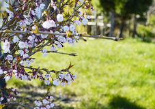 Spring nature, beautiful blossom. Spring nature, beautiful white blossom Royalty Free Stock Photography