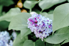 Spring nature beauty flower lilac in the garden. Spring violet lilac in the spring garden Stock Photography