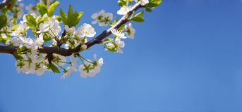 Spring nature blossom tree branch web banner royalty free stock images