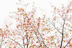 Beautiful sakura or cherry blossom with soft focus. White cloudy sky background. Spring nature, cloudy weather and beautiful flowers of sakura or cherry tree royalty free stock photos