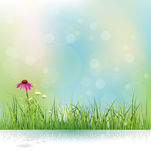 Spring nature field, green grass, white flowers meadow and echinacea ( purple coneflower) flower Royalty Free Stock Photos