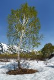 Spring nature landscape of Kamchatka: birch on glade surrounded snow Royalty Free Stock Photography