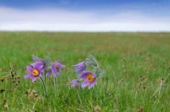 Spring nature with pasque flowers Royalty Free Stock Photos