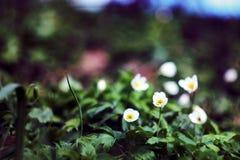 Spring nature. Photo of Anemone nemorosa. Spring photo Stock Photo